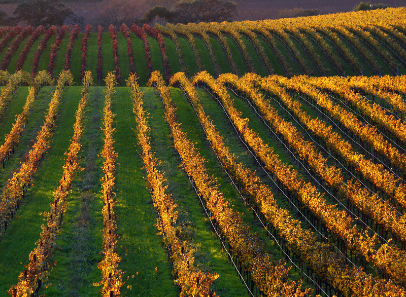 fall vineyard red and yellow vines 3