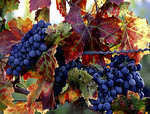 wine grapes : winecountry grapes, chardonay, pinot noir, cabernet, zinfindel, grape close ups